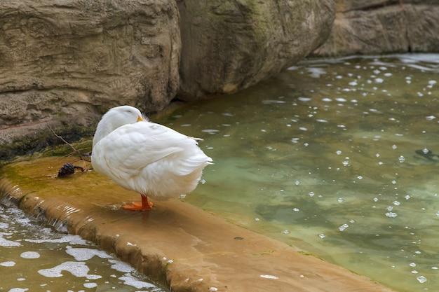 池に白い国内アヒル立っています。