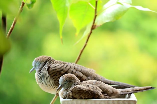 野生のシマウマの鳩と彼女の子供がバルコニーガーデンでプランターに並んで昼寝