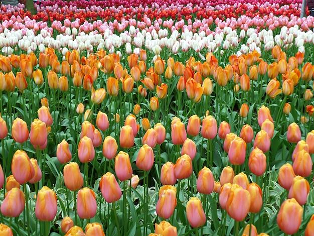 活気に満ちた色はオランダ、リッセのキューケンホフ庭園に咲くツートンカラーのチューリップの花