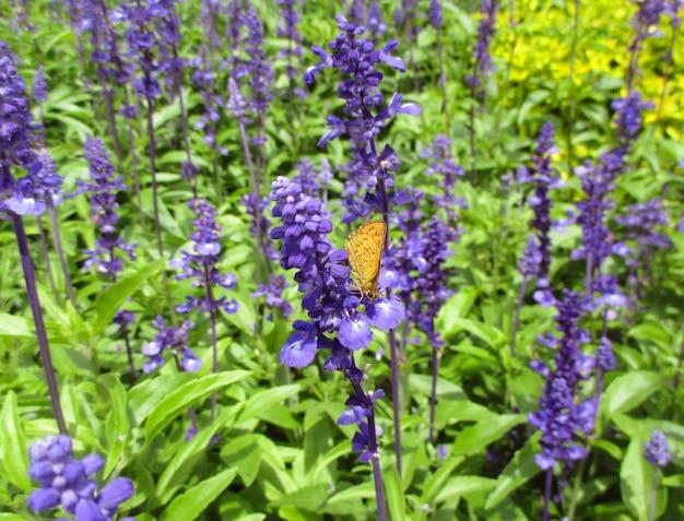 ラベンダー畑の紫色の花にオレンジ色の蝶