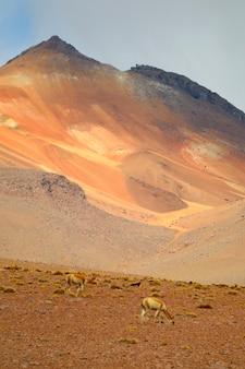 南アメリカ、ボリビアのボリビアのアルティプラーノ、アンデス山脈の丘陵地帯で野生のビクーニャのペア