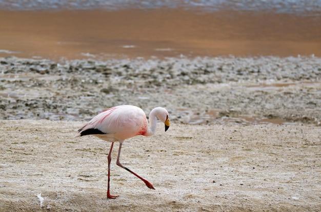 ボリビアのポトシの塩水湖、ラグナ・ヘディオンダの岸を歩くジェームズ・フラミンゴ