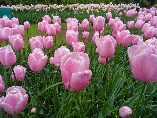 春のシャワー、キューケンホフ、リッセ、オランダに咲くピンクのチューリップの花