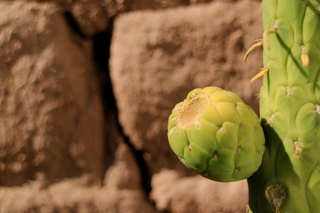 アタカマ砂漠、チリの日光の下でその木の上の緑のサボテン梨