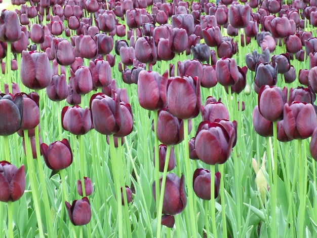 オランダ、キューケンホフ公園で濃い紫チューリップ