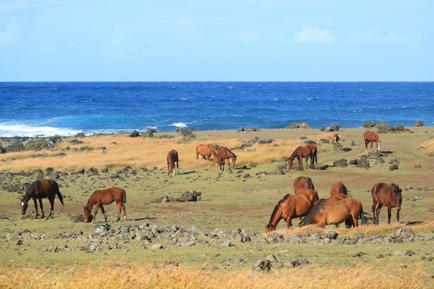 Большая группа диких лошадей, пасущихся на берегу тихого океана на острове пасхи, чили, южная америка