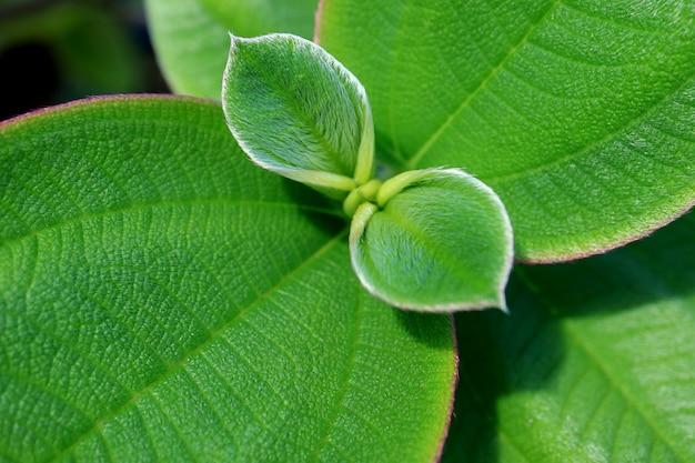 活気に満ちた緑の若い毛深い葉の質感で引けた