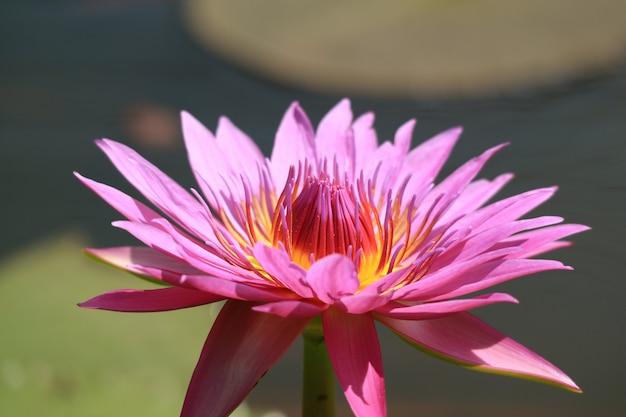 日光に咲く華やかな鮮やかなピンクの蓮の花