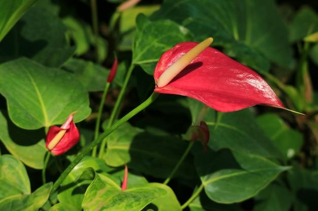 日光の下で鮮やかな赤いフラミンゴの花で引けた