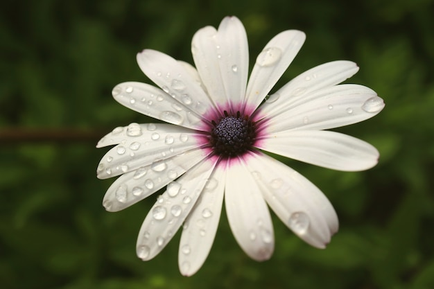 雨滴、イースター島、チリと白いケープデイジーのクローズアップ