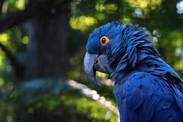 背景をぼかし、イグアスの滝と鮮やかな青いヒヤシンスコンゴウインコ、青いオウムの肖像画のクローズアップ