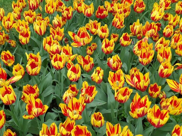 Яркие цветные тюльпаны, одна из старейших групп тюльпанов в выращивании