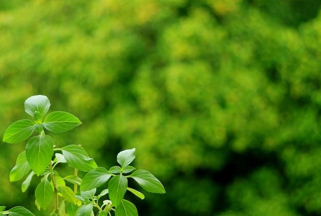 ぼやけた鮮やかな緑の葉に甘いバジル植物