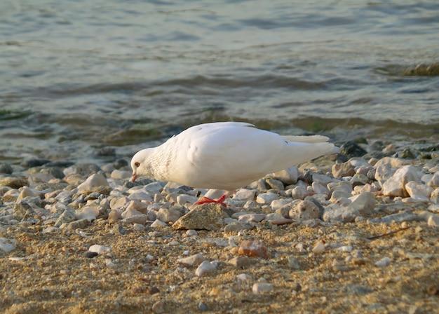 ギリシャ、ミコノス島の太陽が降り注ぐビーチに美しい白鳩
