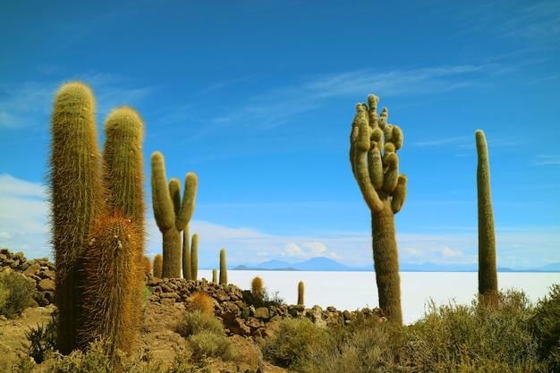ボリビアのウユニ塩湖の広大な塩原に対するインカワシ島の巨大サボテン植物