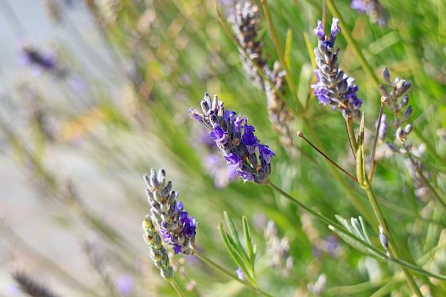 風の強い日に日光の下で手を振っているラベンダーの花の束