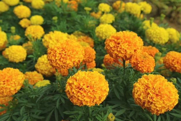 Яркое оранжево-желтое цветущее поле цветов календулы