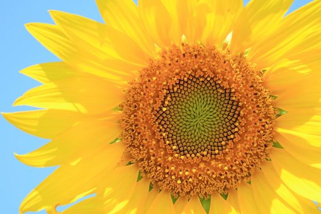 Крупным планом яркий желтый подсолнух на фоне голубого неба