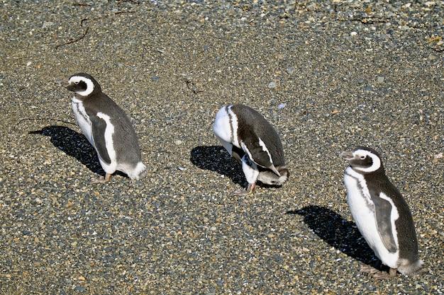 Пингвины отдыхают на солнце на острове мартилло, ушуайя, патагония, аргентина