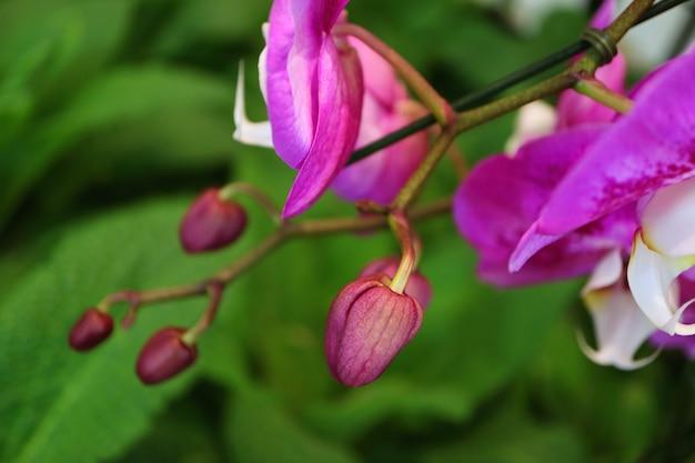 ぼやけた緑の葉と蘭の花の芽をクローズアップ