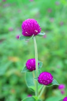 Вертикальное изображение ярких фиолетовых цветов амаранта глобуса