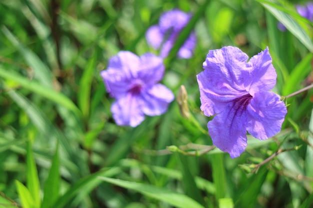 バックグラウンドで緑の草と紫色の飛び出るポッド花