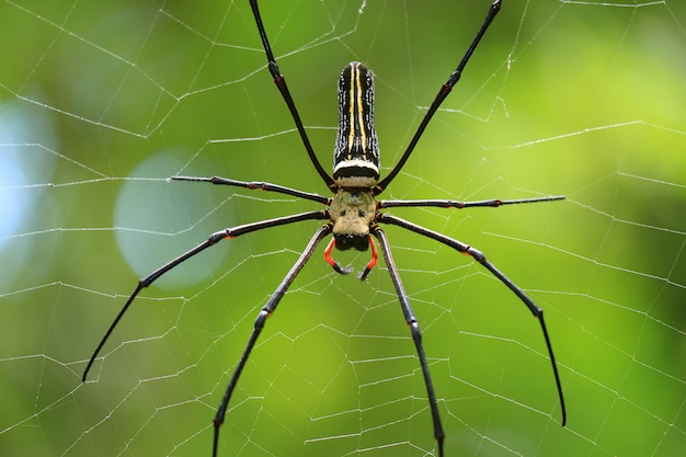 タイ、サラブリ県の熱帯雨林の中で、そのウェブ上に大きなクモのクローズアップ