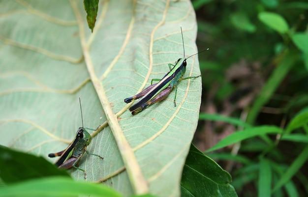 Два ярких зеленых и фиолетовых кузнечика отдыхают на опавших листьях