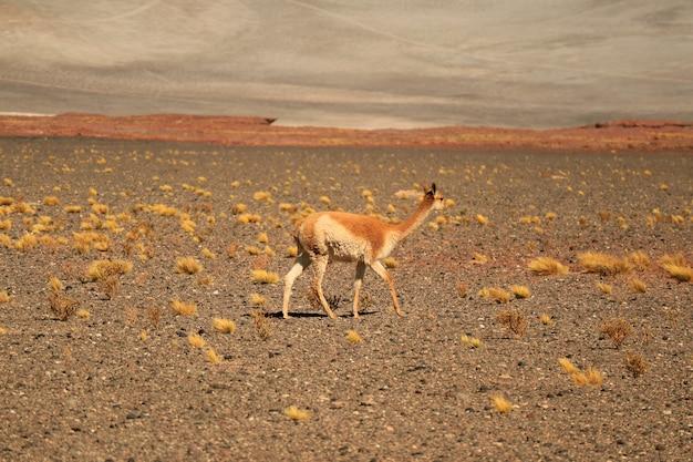 チリ北部のチリアンデスの麓にある野生のビクーニャ