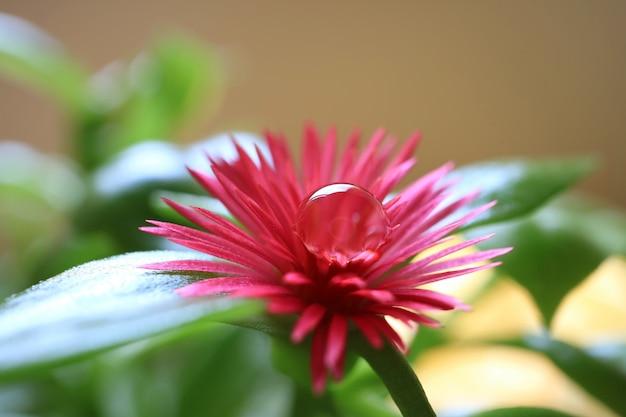 花粉の透き通った水滴を持つピンクの赤ちゃんの太陽のバラの花のクローズアップ
