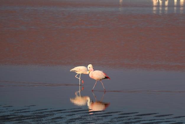ラグーナコロラダまたはレッドラグーン、エドゥアルドアヴァロアアンデス動物相の塩湖でフラミンゴのペア