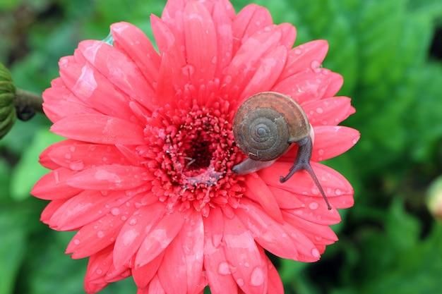 Маленькая улитка отдыхает на ярко-розовом цветущем цветке герберы с слизью улитки и капельками воды