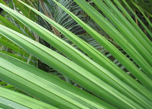背景の緑の熱帯ヤシの木の葉