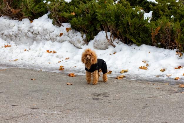 都市公園の真ん中に立っている黒いコートと失われた赤いプードル