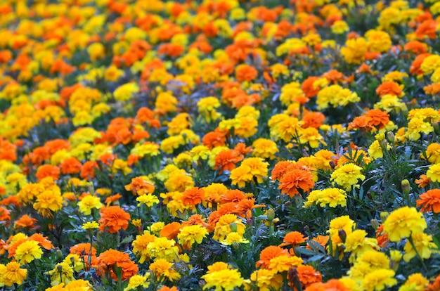 庭にはたくさんの美しい花があります。メキシコ、アステカまたはアフリカのマリーゴールド。マンジュギク