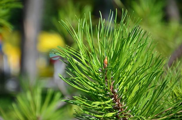 日中屋外の晴天の緑のトウヒの枝。背景をぼかした写真の花の背景画像