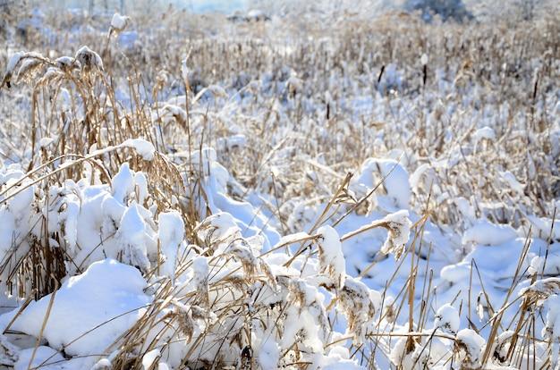 雪の層で覆われた多くの黄色い葦のクローズアップ。冬の湿地帯