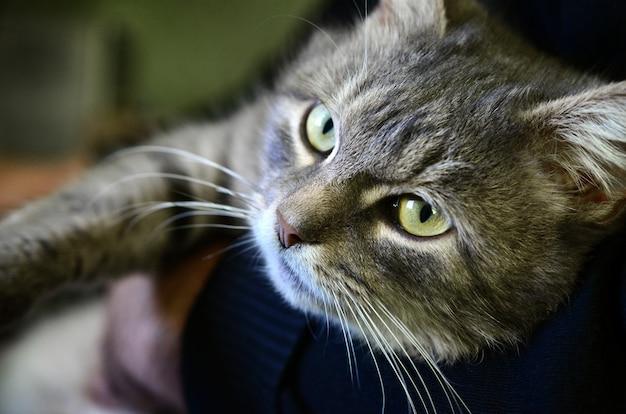 若い灰色の猫が飼い主の手にあります。ペットは休んでいます