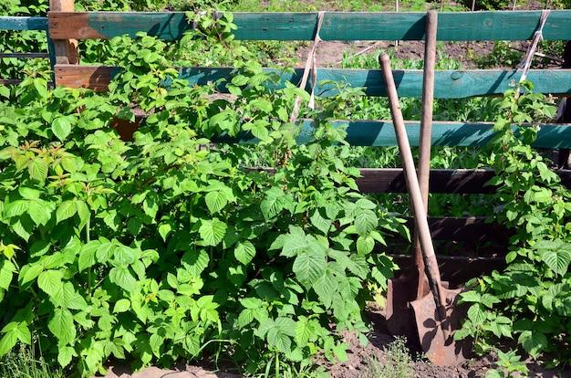 ラズベリーの茂みの近くの古いさびたシャベル、それは村の庭の木の塀の隣で成長します。