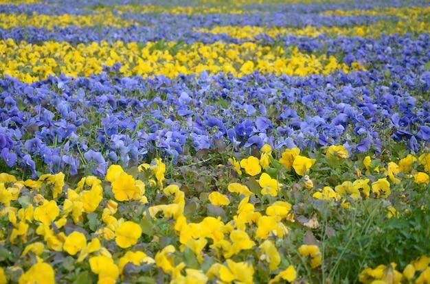 Красивые фиолетовые и желтые цветущие анютины глазки в весеннем саду