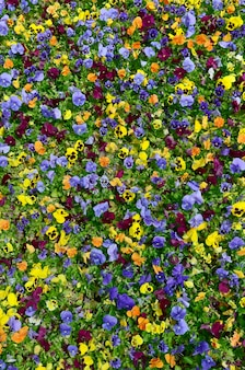 Разноцветные цветы анютины глазки или анютины глазки крупным планом