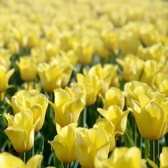 春に明るくカラフルな黄色いチューリップの花