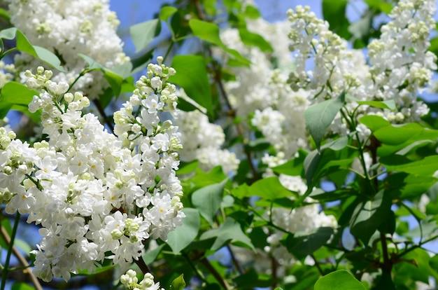白いライラックと緑の葉の枝。ライラックの開花枝