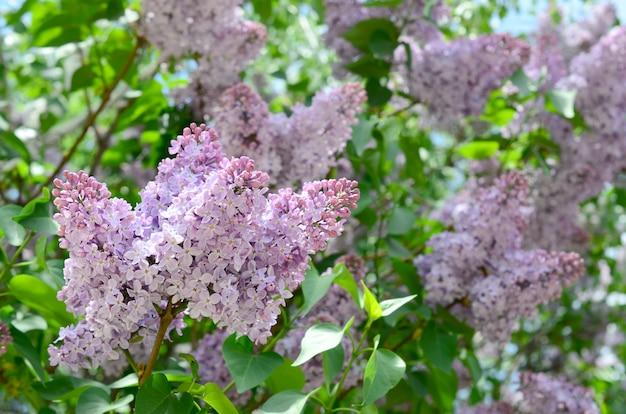 紫色のライラックと緑の葉の枝。ライラックの開花枝