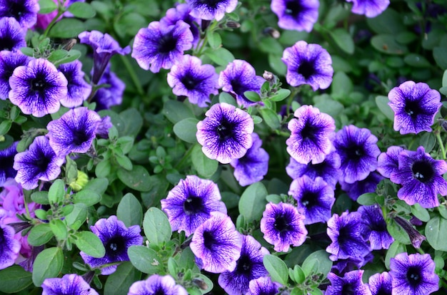 Красивые фиолетовые цветы петунии в цветочном фоне детали