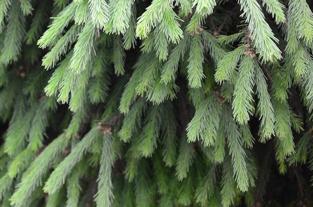 Пушистый зеленый конец бранча ели вверх. рождественские обои концепция с копией пространства