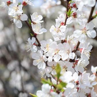 白い花とピンクのリンゴの木の花