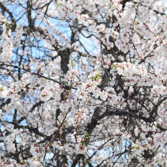 Розовая яблоня цветет с белыми цветами