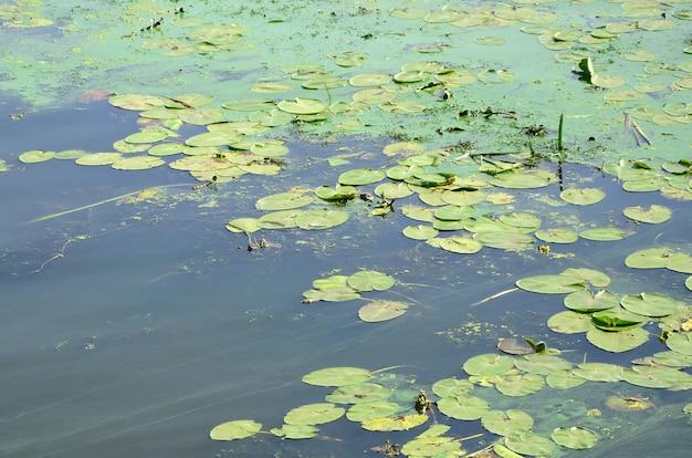 ウキクサとユリの葉で覆われた古い沼地の表面