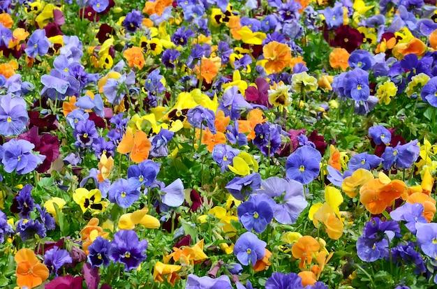 多色のパンジーの花やパンジーをクローズアップ